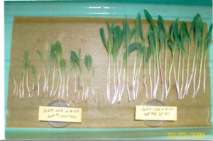 6. Levengood Corn Seedlings W Treatment